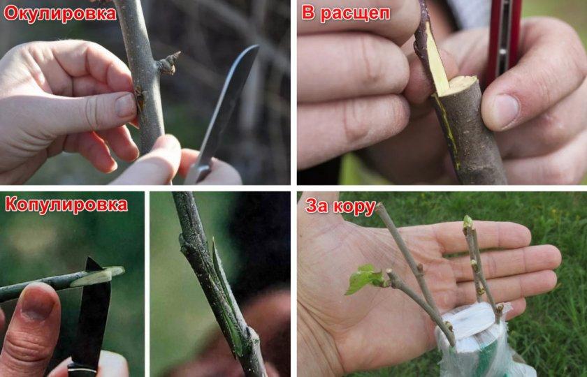 Способы размножения винограда - способы прививок винограда