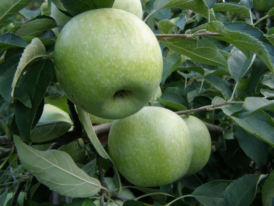 Поздняя яблоня со стабильным урожаем или сорт лобо