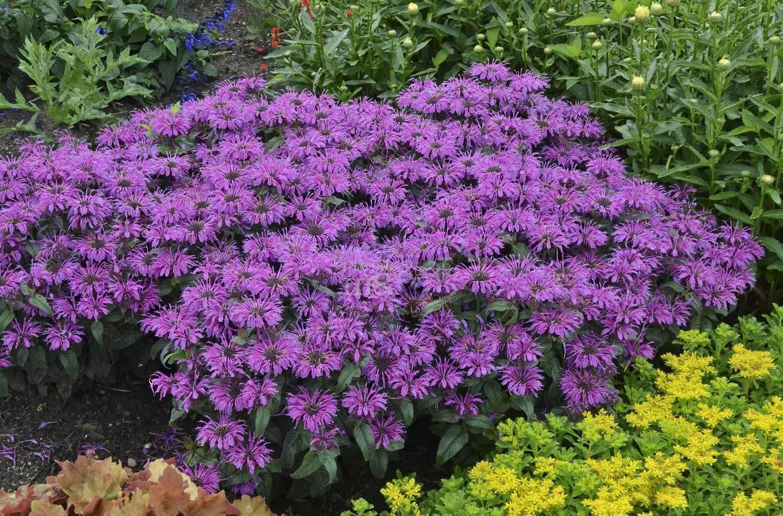 10 лучших многолетних цветов которые подойдут для сибири