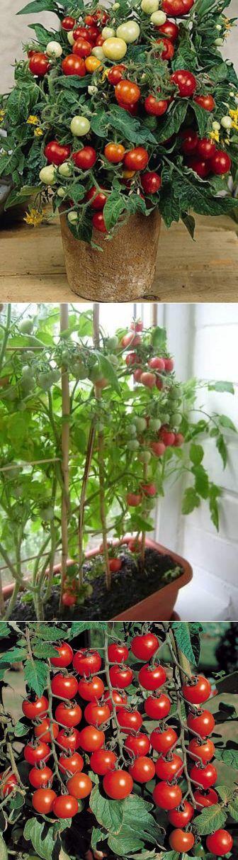 Балконное чудо помидоры: особенности сорта, посев, пересадка, уход
