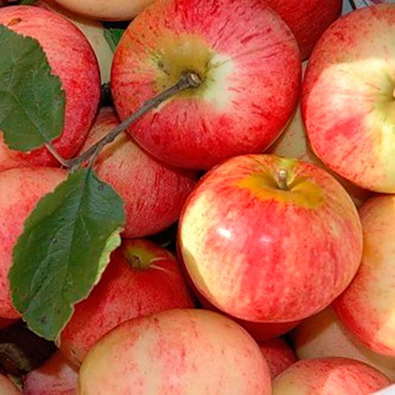 Яблоня дачное: описание и фото летнего сорта, отзывы о нем