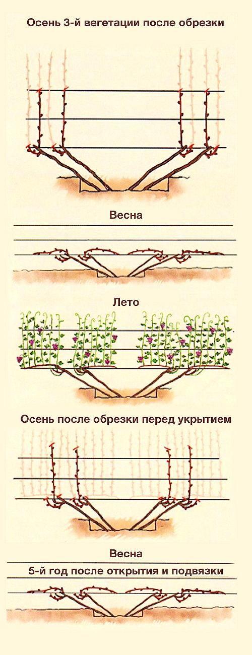 Как правильно подвязать лозу винограда