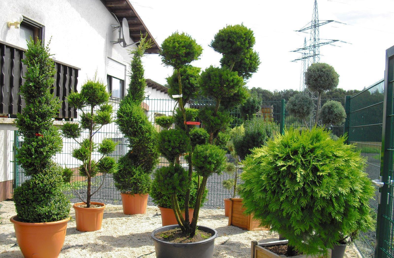 Карликовые деревья: преимущества и недостатки
