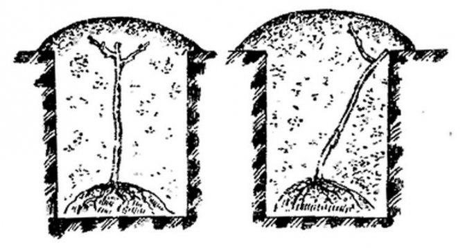 Как размножить черешню в домашних условиях