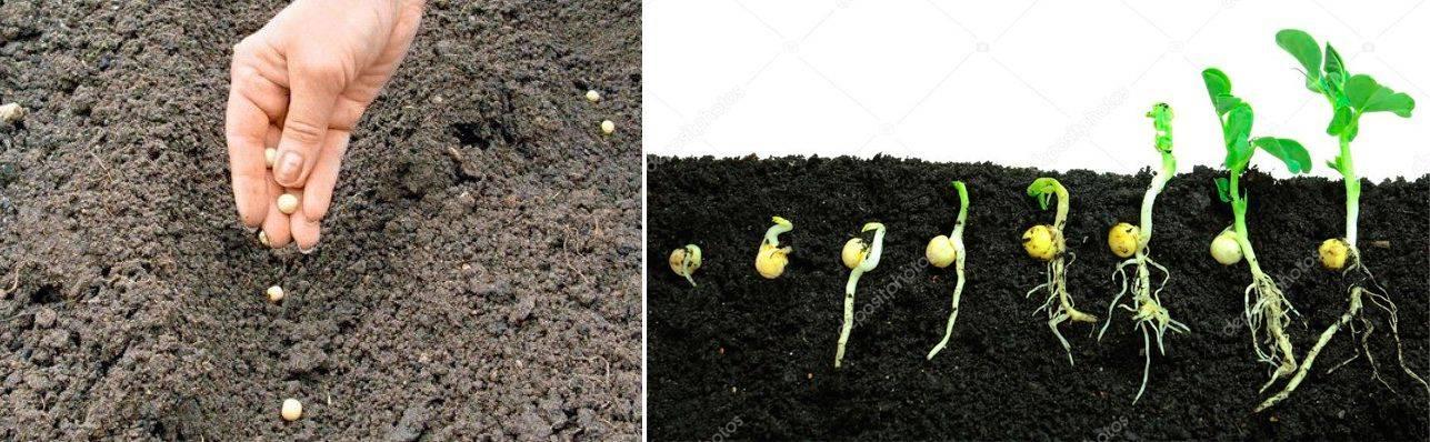 Как вырастить горох на даче в открытом грунте