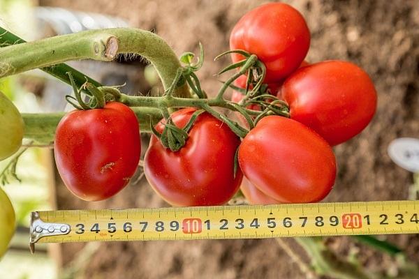 Томат великосветский: отзывы, фото, урожайность   tomatland.ru