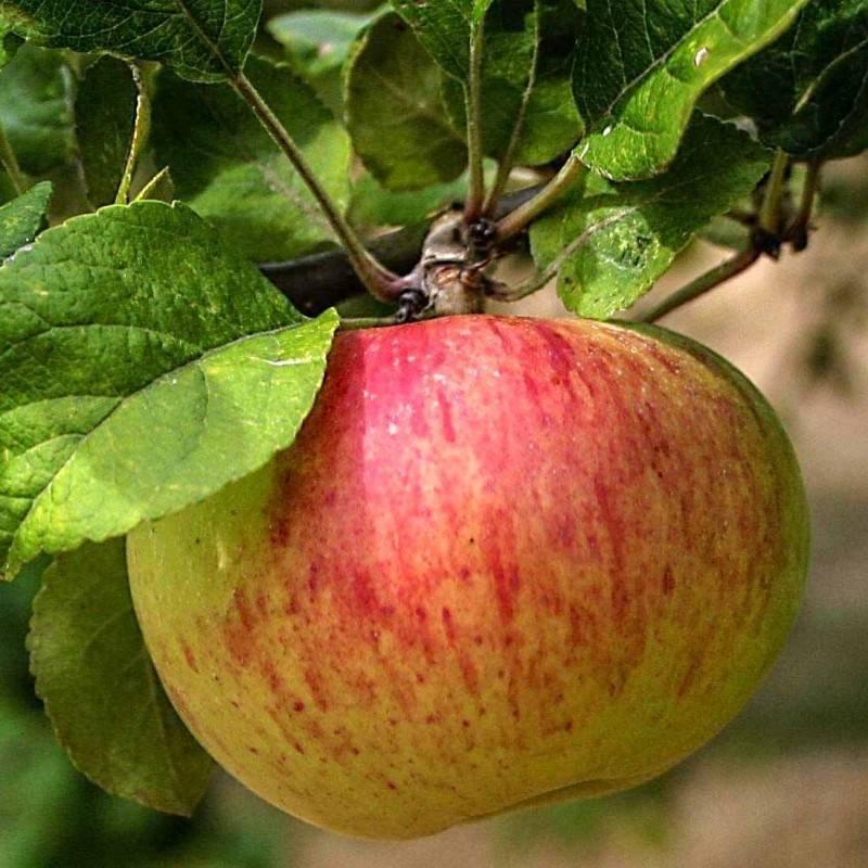 Яблоня коробовка: описание сорта и фото selo.guru — интернет портал о сельском хозяйстве