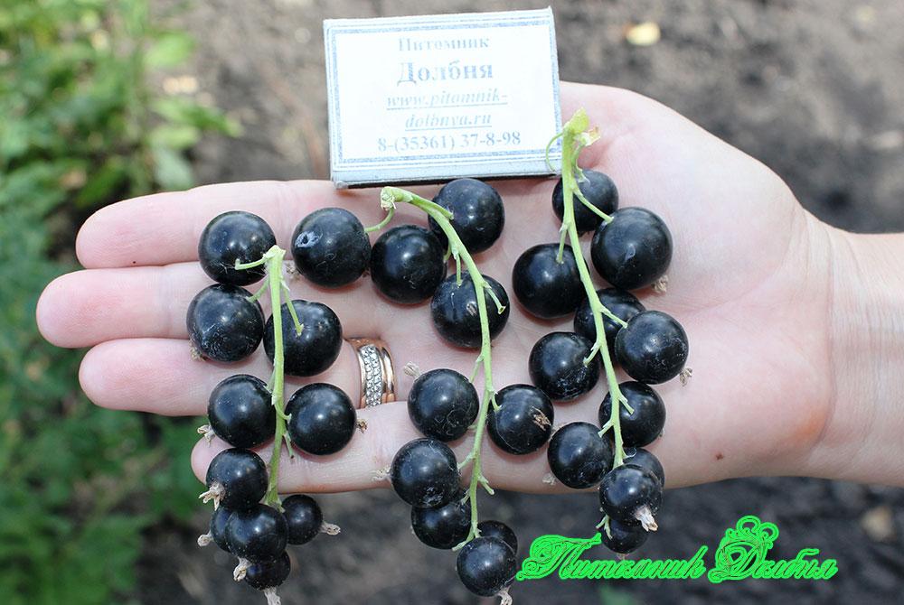 Сорт гулливер черной смородины - описание и отзывы