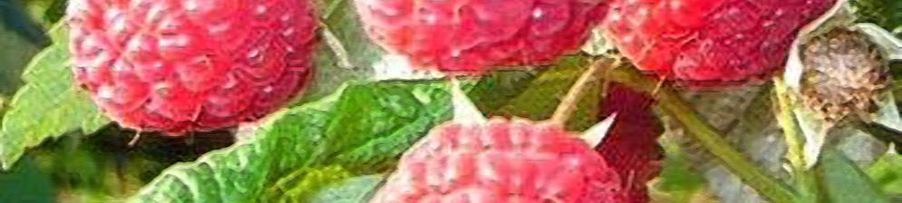 Малина тибетская: отзывы, фото, описание растения, уход