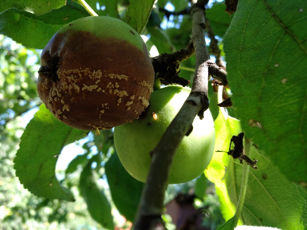 Наиболее частые причины, почему абрикос может сбрасывать зеленые плоды, и способы лечения