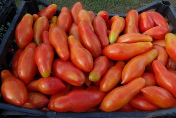 Томат чудо банан: характеристика и описание сорта фрегат, фото помидоров и отзывы об урожайности
