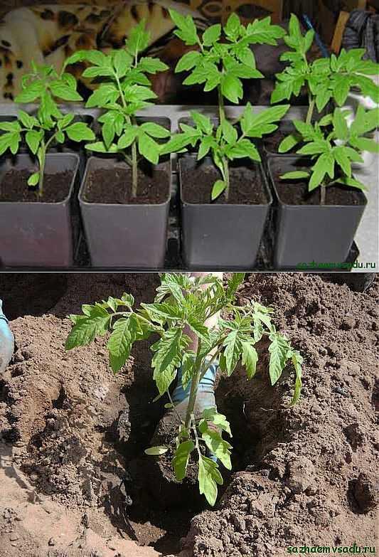 Как пересаживать рассаду помидор | вырасти сад!