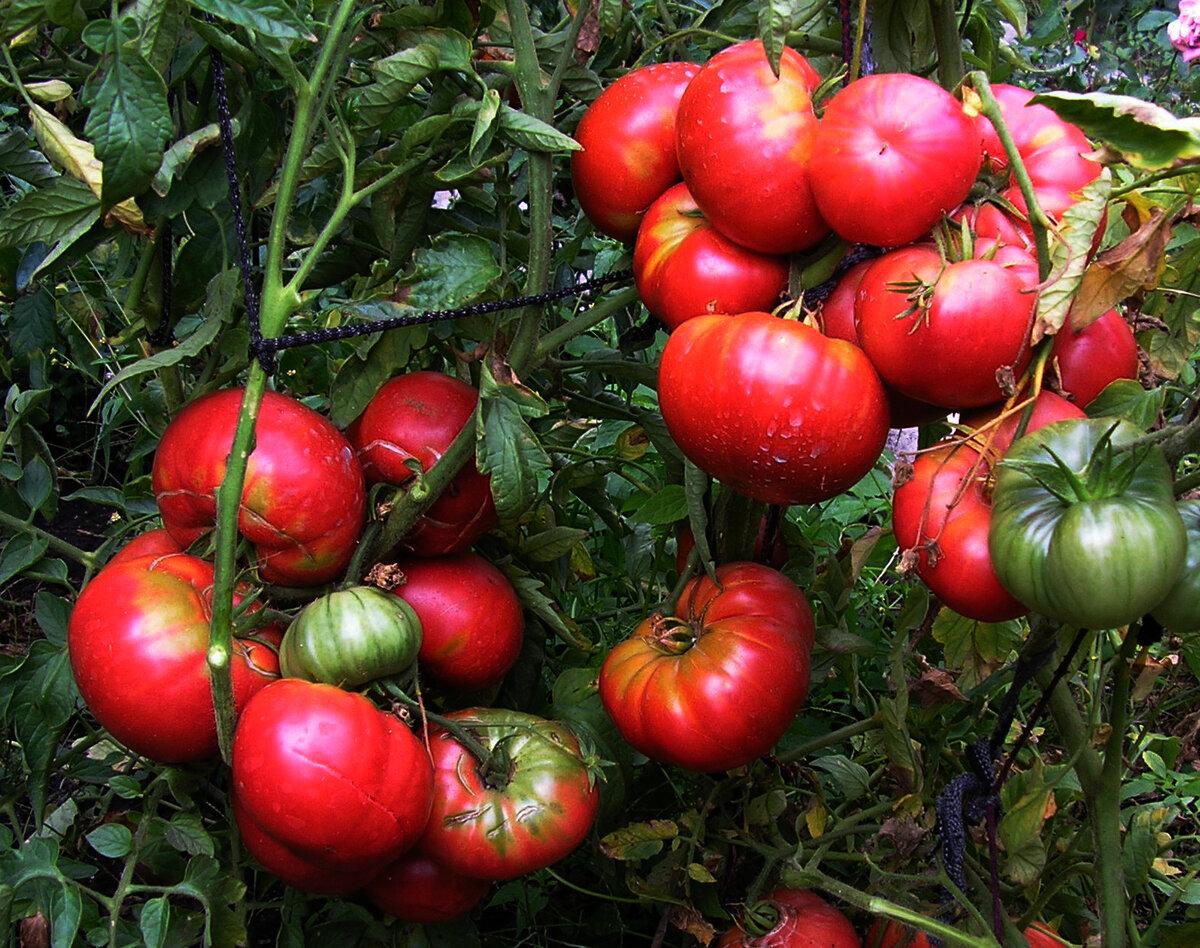 Томат гигант красный: характеристика и описание сорта, урожайность с фото