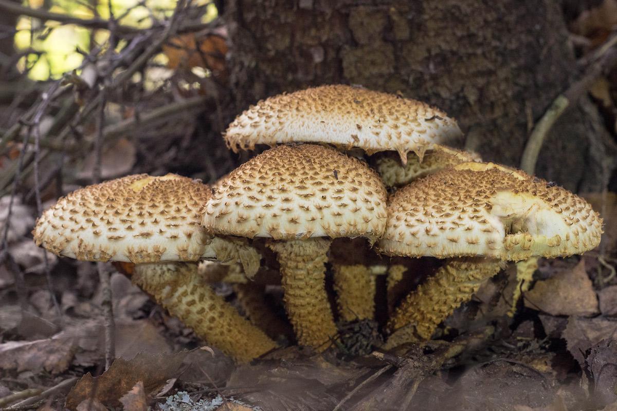 Гриб чешуйчатка золотистая - фото, описание, виды