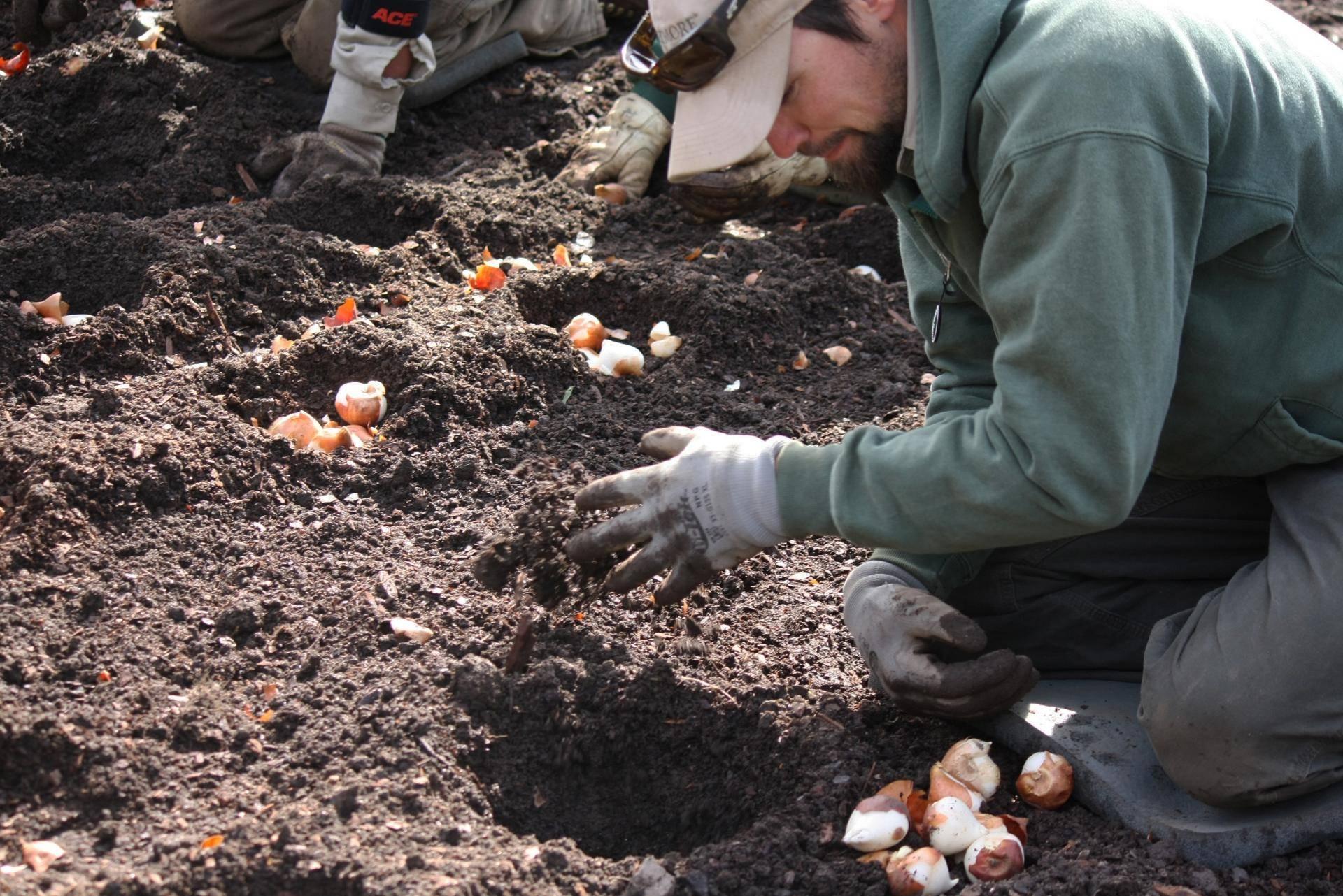 Тюльпаны – посадка осенью в открытый грунт, как и когда сажать тюльпаны под зиму; подготовка тюльпанов к зимовке