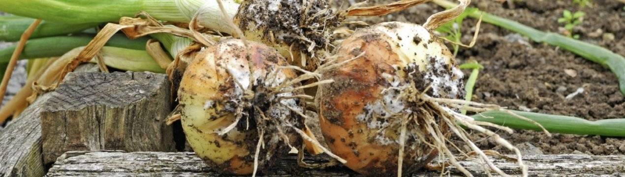 Гниет лук: почему его донце чернеет на грядке, а овощ плохо лежит после уборки и портится изнутри при хранении, что делать, как бороться с этой проблемой?