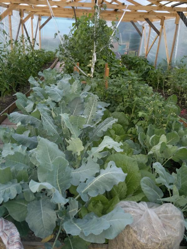 Выращивание брокколи от семян до урожая