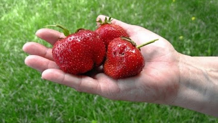 Выращивание клубники из семян: посадка и уход за всходами