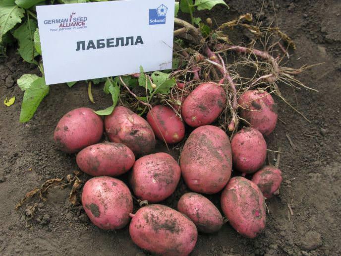 Картофель лабелла: описание сорта, фото и отзывы об урожайности, характеристика, вкусовые качества и сроки созревания семян, хранение и выращивание
