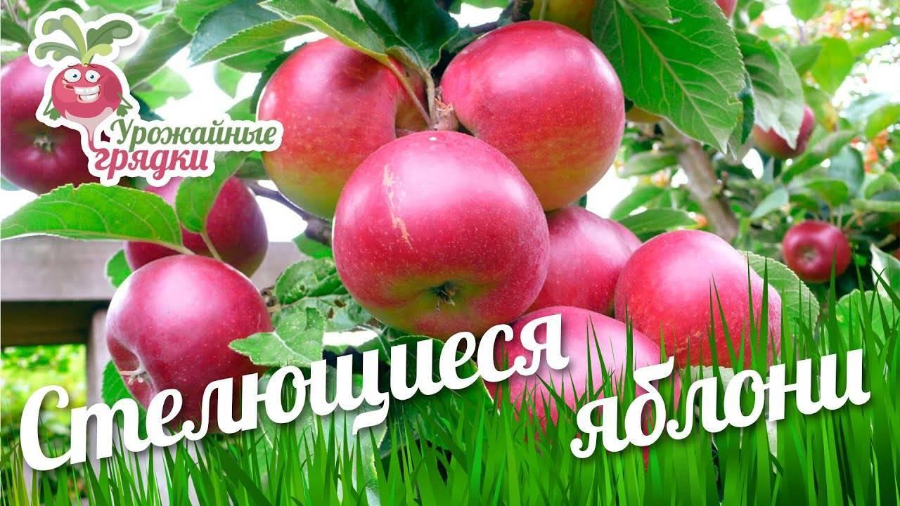Декоративные яблоньки с вкусными плодами — сорт солнышко