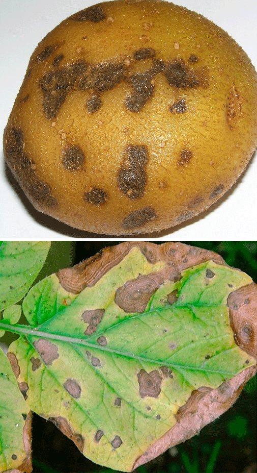 Парша порошистая картофеля