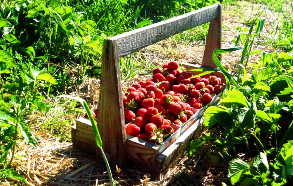 Урожай клубники: как увеличить, получить, вырастить, секреты, фото, видео
