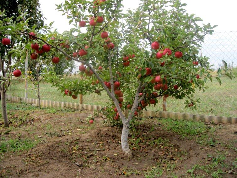 Яблони сорта лобо: как сажать и как ухаживать?