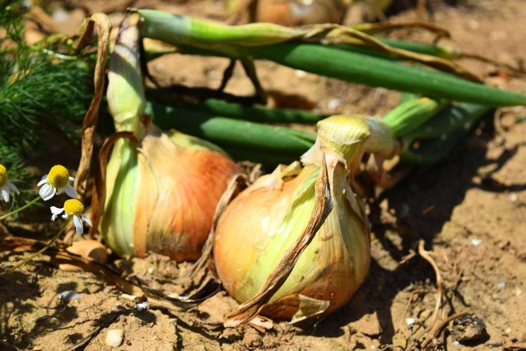 Как сажать лук севок в открытый грунт видео для начинающих