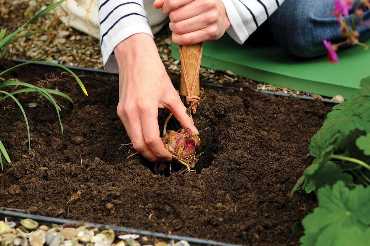 Выращивание ревеня и уход за ним в открытом грунте, способы культивирования