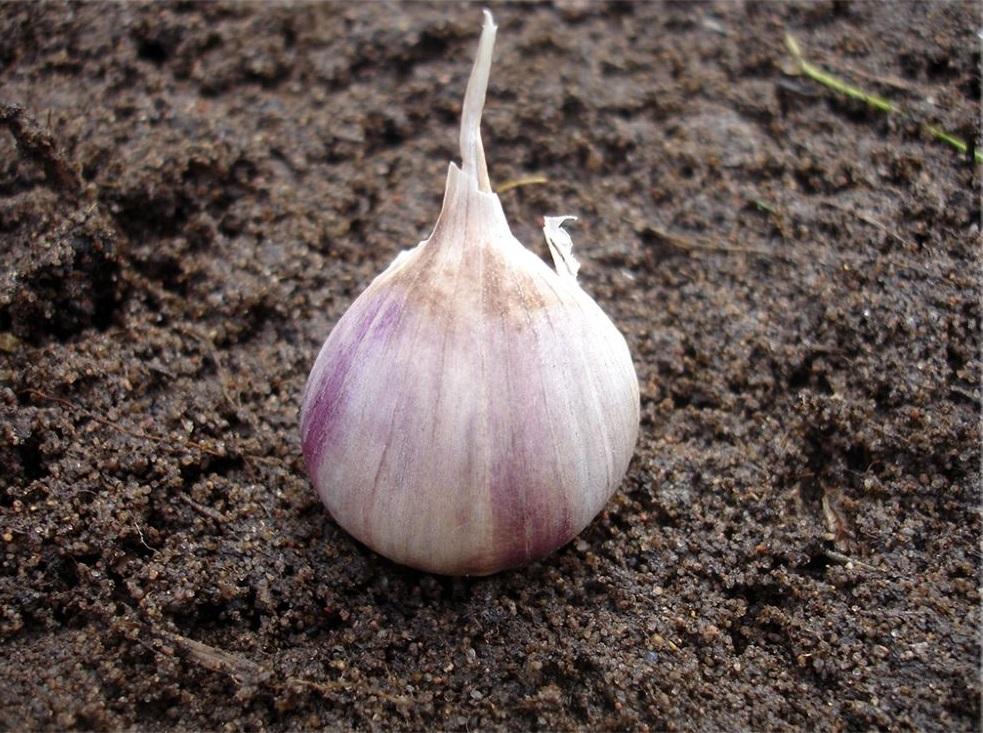Выращивание чеснока из семян стрелок в открытом грунте. для чего это нужно? правила, особенности, достоинства и недостатки метода