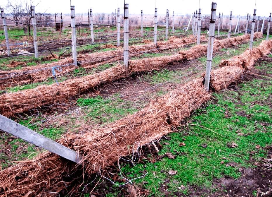 Когда, как и чем укрывать виноград на зиму в разных регионах