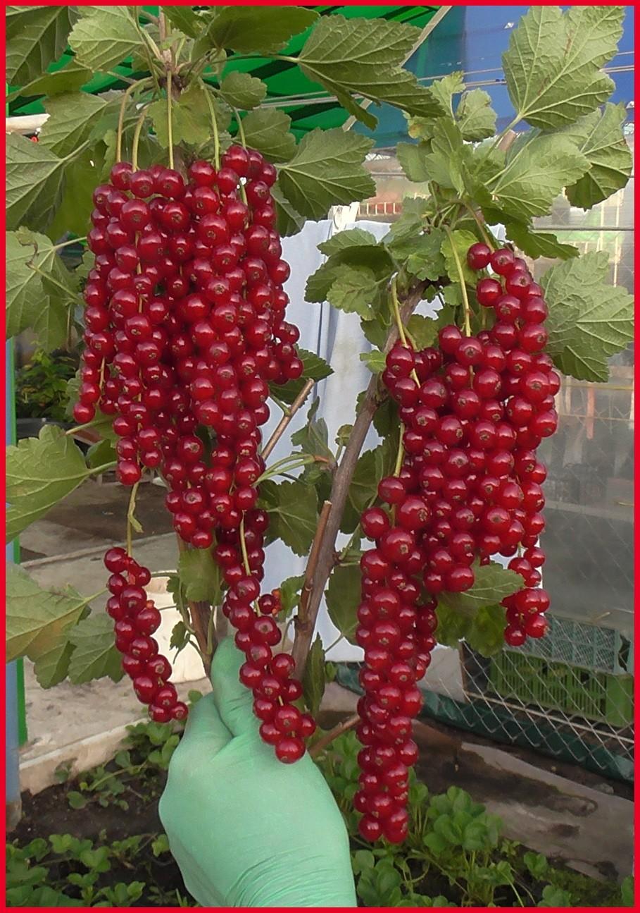 Сорт красной смородины ровада: описание, отзывы
