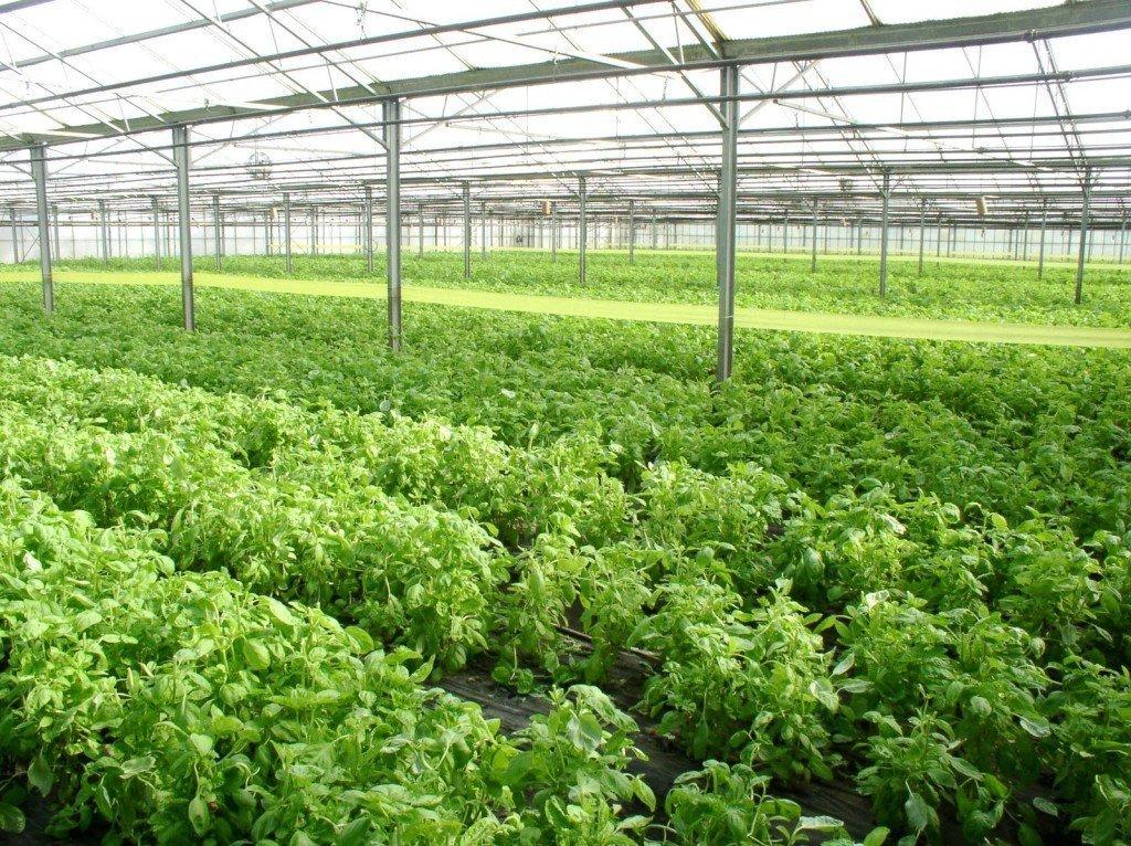 Как правильно выращивать кинзу в теплице зимой на продажу: рентабельность