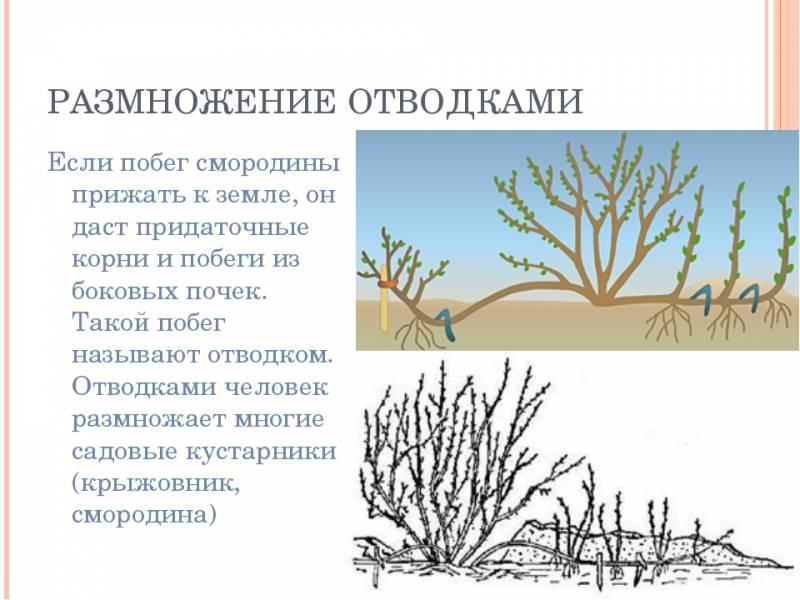 Размножение крыжовника: основные способы и правила