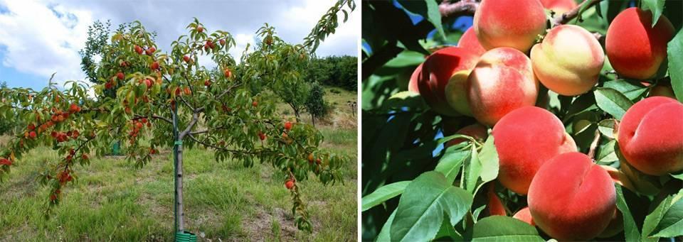 Как вырастить персики в подмосковье | садоводство и огородничество