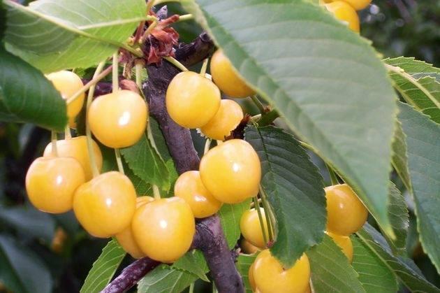 Сорта опылители для черешни