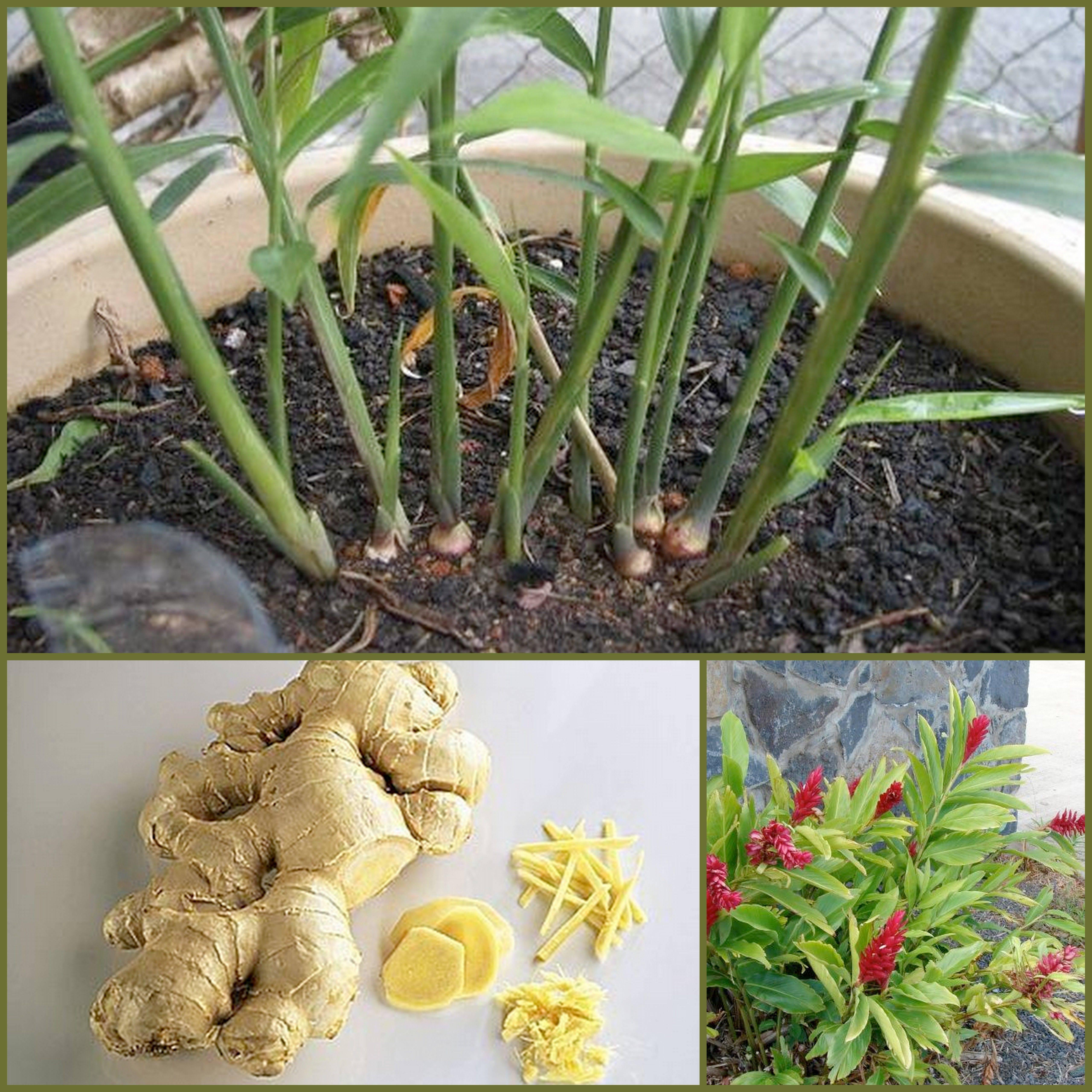 Посадка имбиря в домашних условиях и уход за растением в горшке: можно ли вырастить пряность на подоконнике из корня или семян, как правильно сажать корнеклубень и какие сорта больше подходят для дома, фото цветка