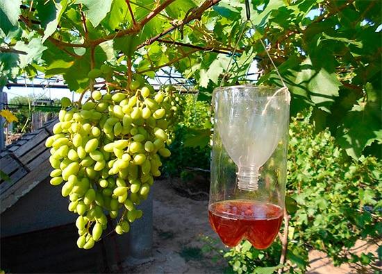 Как эффективно защитить виноград от ос: ловушки, отрава и механические способы