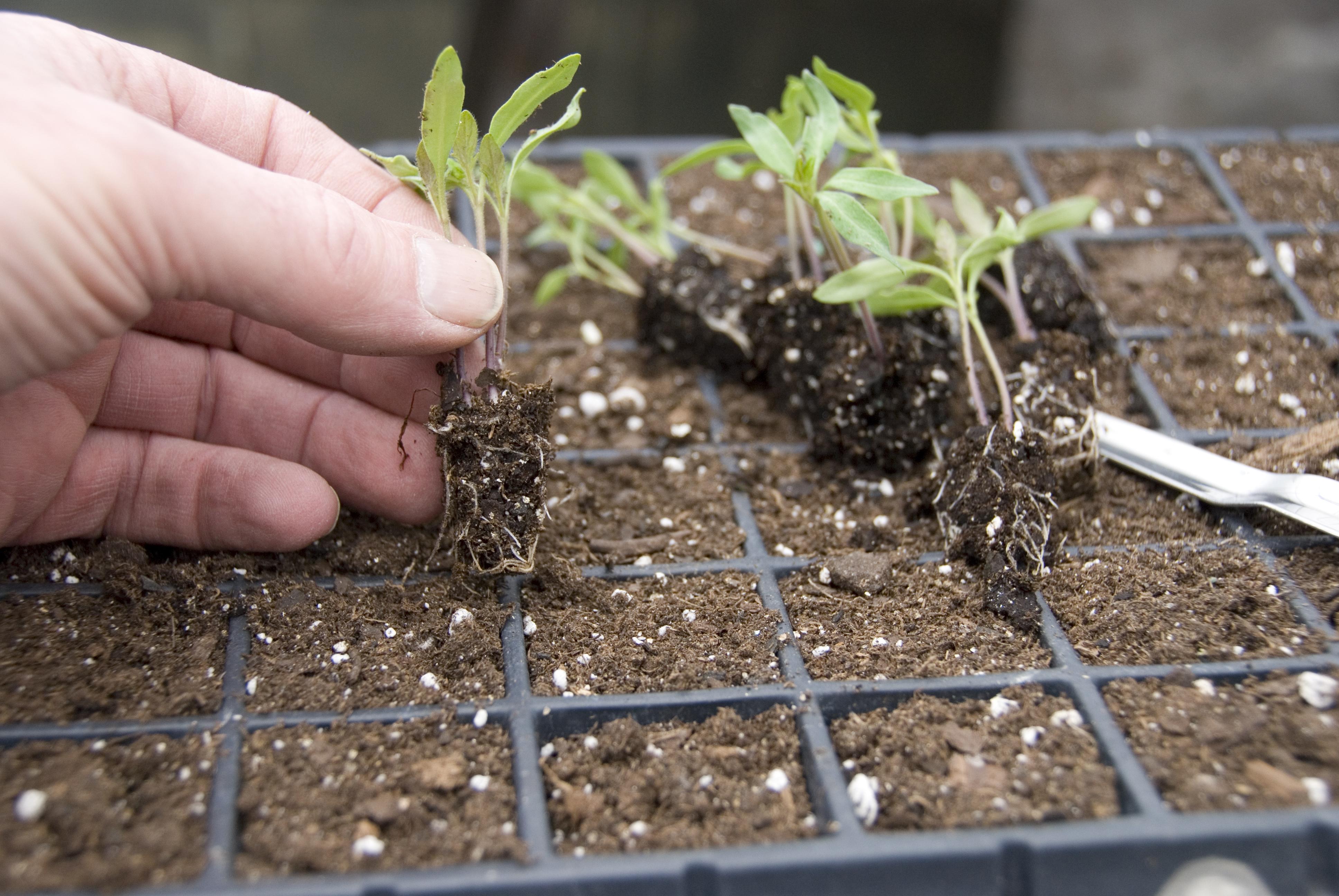Посадка и выращивание декоративной капусты (брассика) из семян, фото