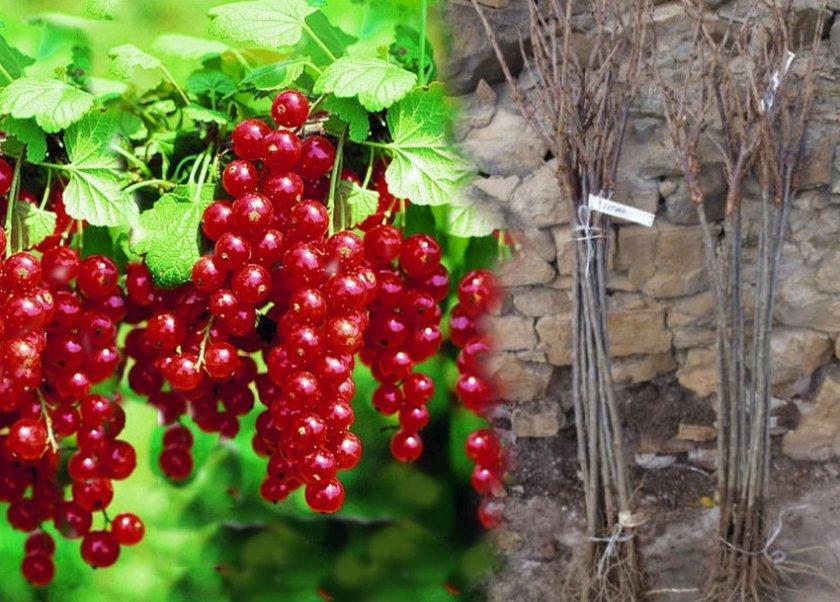 Виды и сорта смородины: описание и характеристика, фото и отзывы