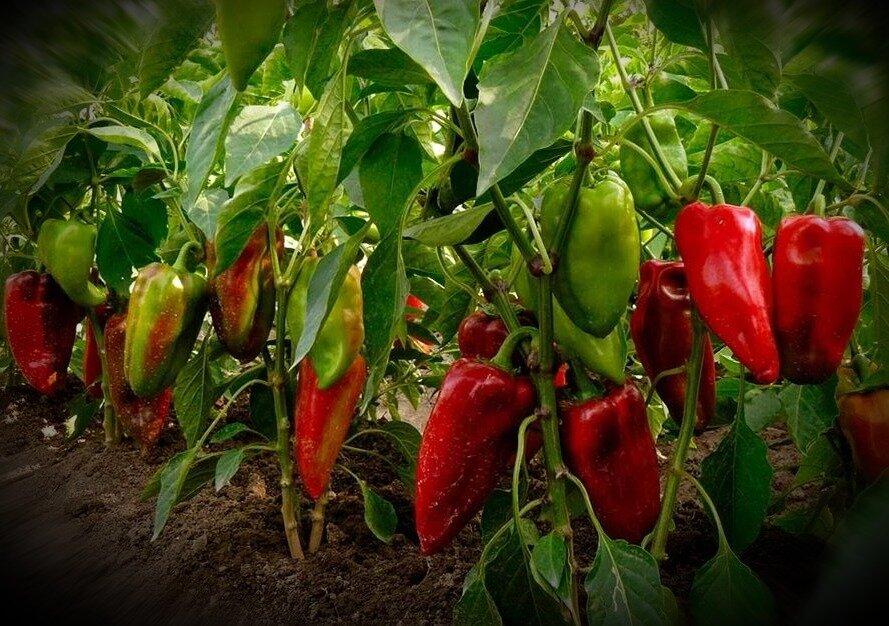 Выращивание горького перца - хоз-двор