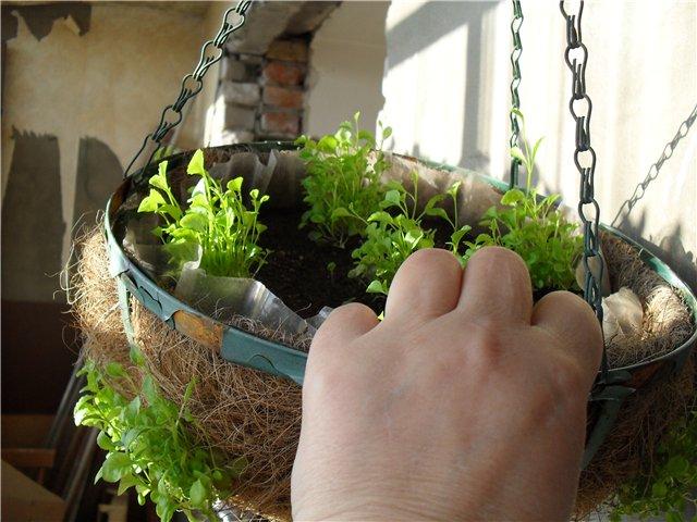 Лобелия - посадка и уход с фото, когда сеять ампельную и другие сорта