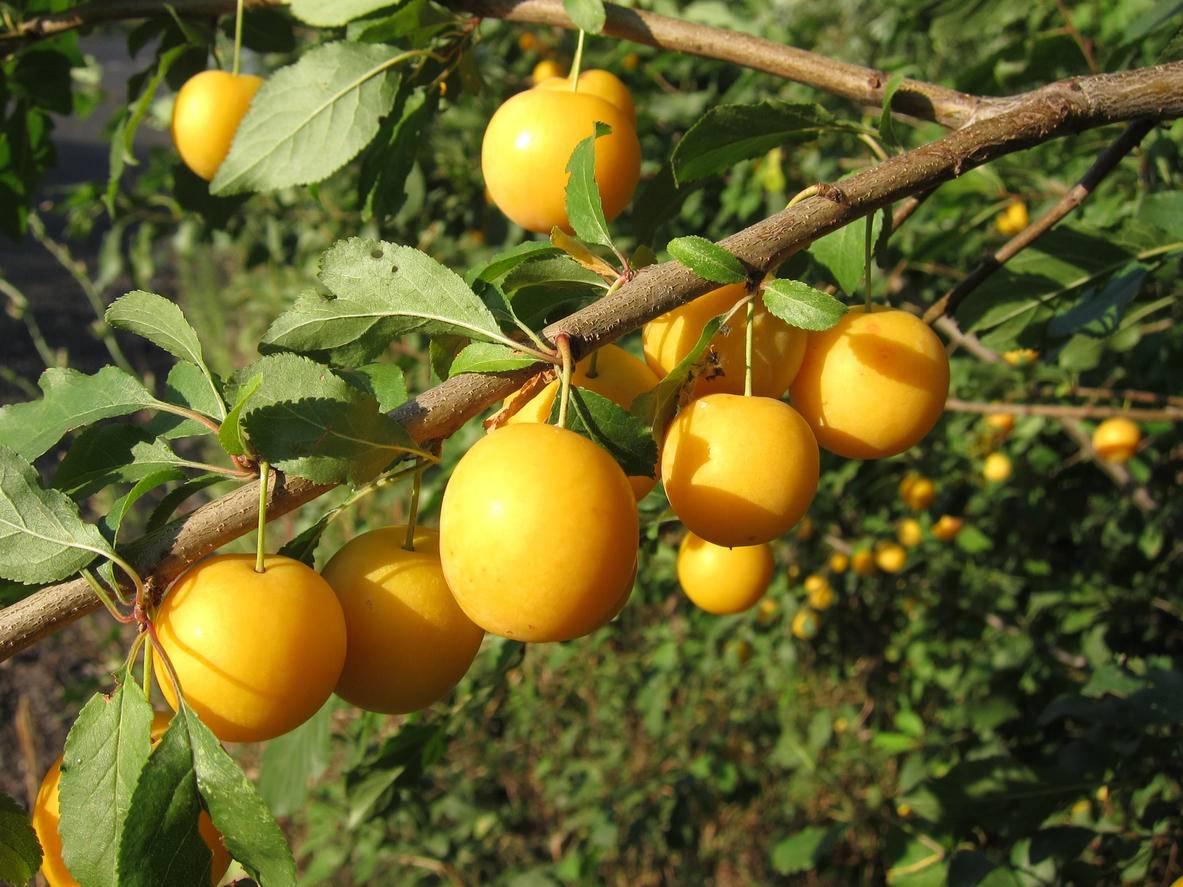 Сорта алычи для беларуси: их достоинства и недостатки