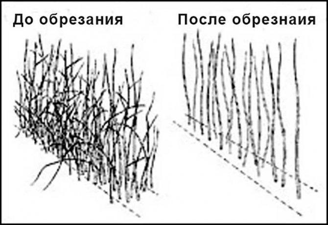 Ремонтантная малина: уход и правила выращивания