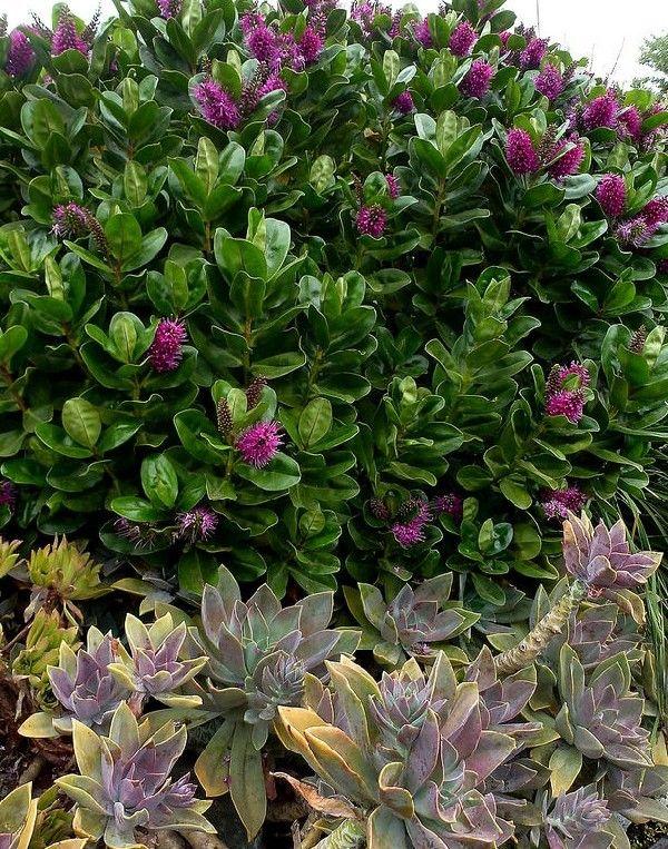 Вечнозелёные растения для сада (фото): название и описание. использование в ландшафтном дизайне