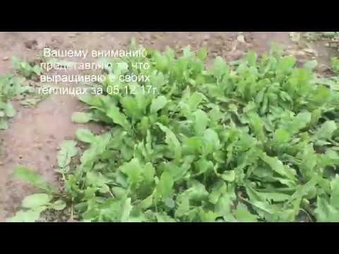 Практические советы: что выращивать в теплице зимой, 8 идей