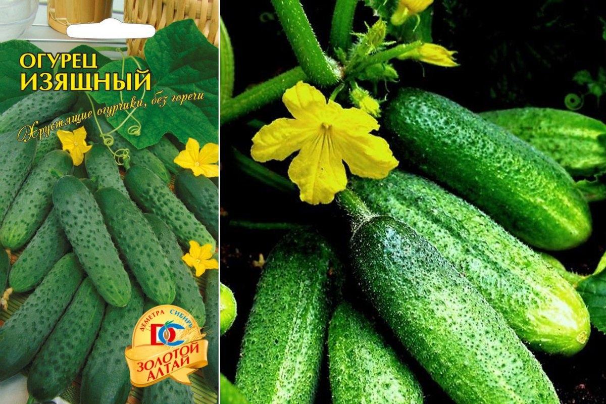 Характеристика и описание огурцов сорта Изящный, урожайность и выращивание