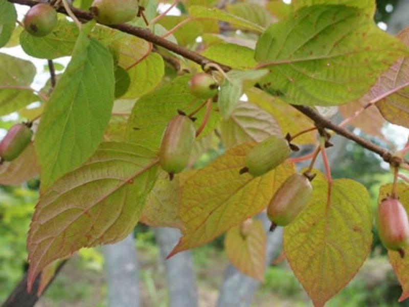 Актинидия коломикта: посадка и уход, особенности выращивания в том числе из семян, а также описание сортов с характеристикой и отзывами