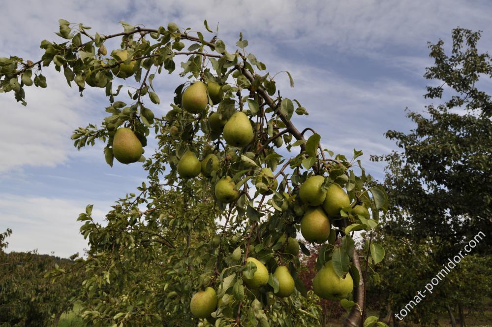 Почему не плодоносит груша? причины и решения. фото — ботаничка.ru