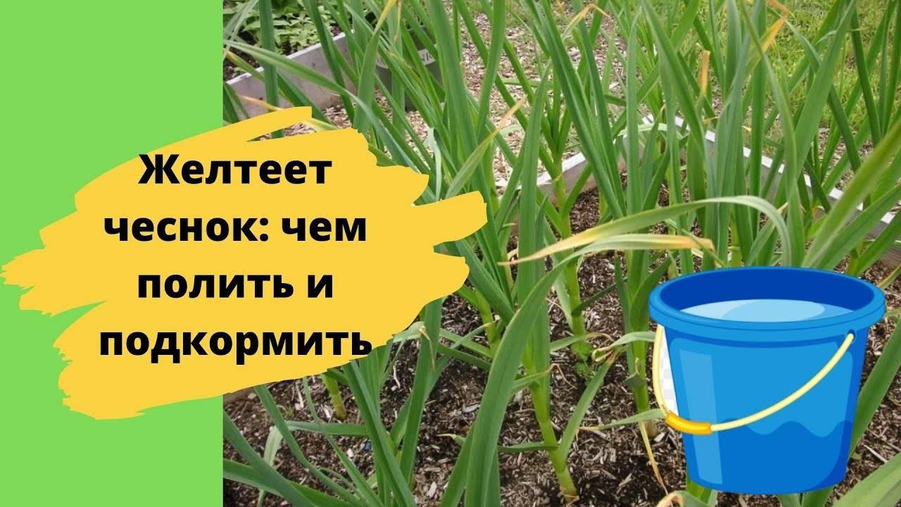 Почему желтеет лук на грядке: что делать, чем полить и подкормить